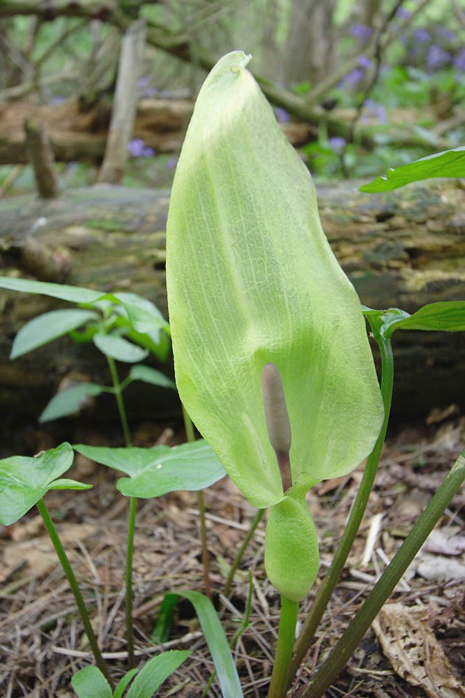 arum maculatum  u2013 lords