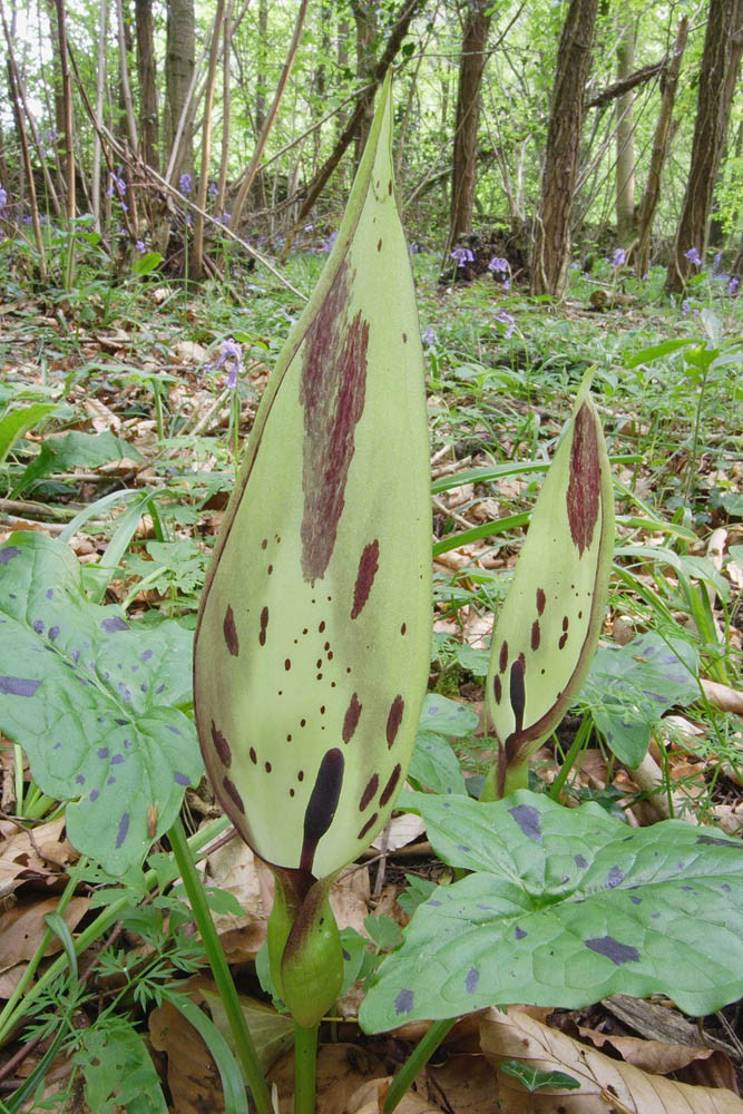 1kg 1000g_Arum maculatum – Lords-and-Ladies | Wild Flowers | Species | Emorsgate Seeds ...
