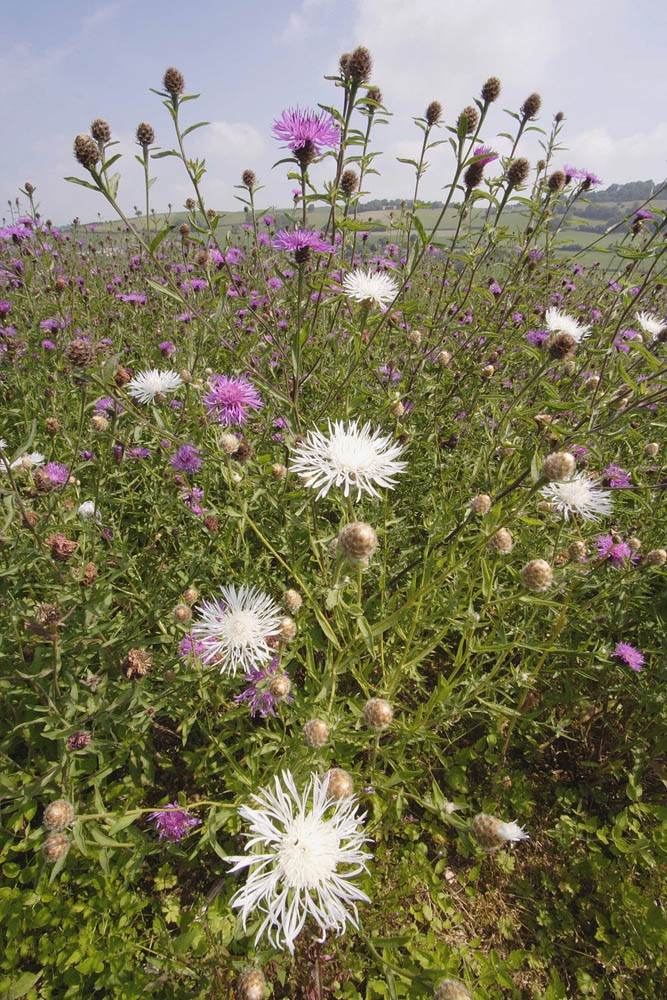1kg 1000g_Centaurea nigra – Common Knapweed | Wild Flowers | Species | Emorsgate Seeds ...