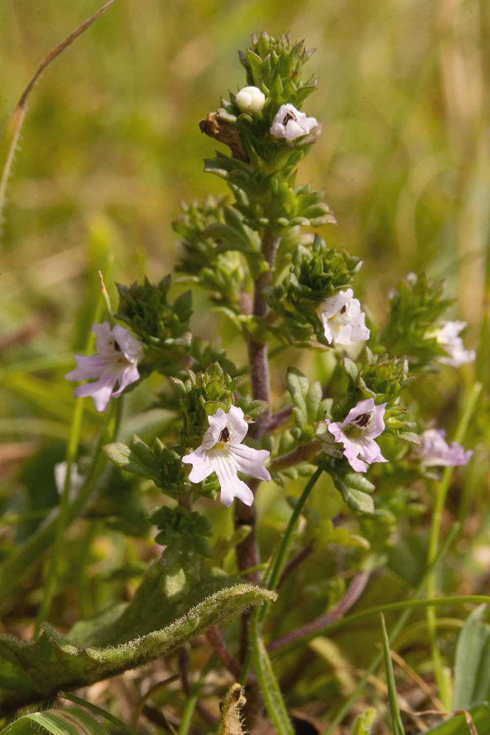 euphrasia officinalis  u2013 eyebright